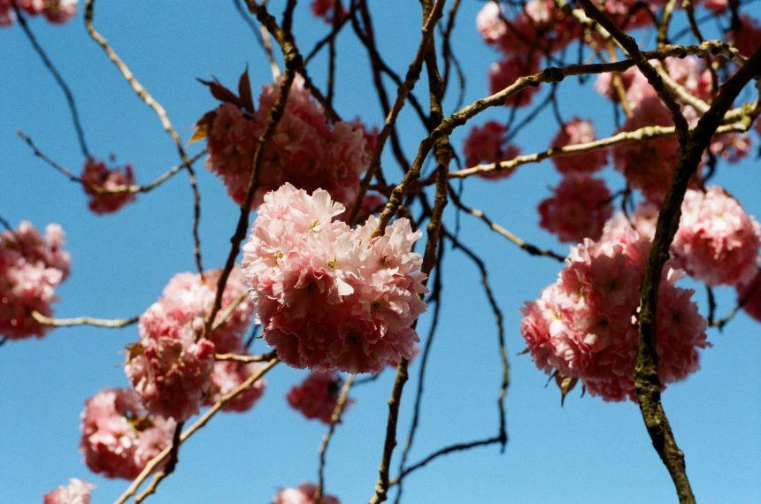 Cherry Blossum. Nikon Series E 50mm 1:1.8 on Nikon FE with Lomography 100CN. April 2020
